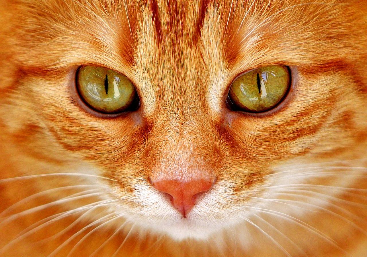 Dúo de las gatas
